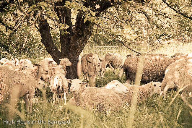 Afton Field Farm - Our sheep herd relaxing in the orchard.