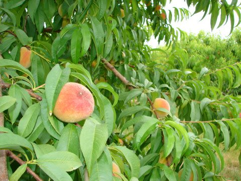 Fifer Orchards Farm and Country Store - Peaches