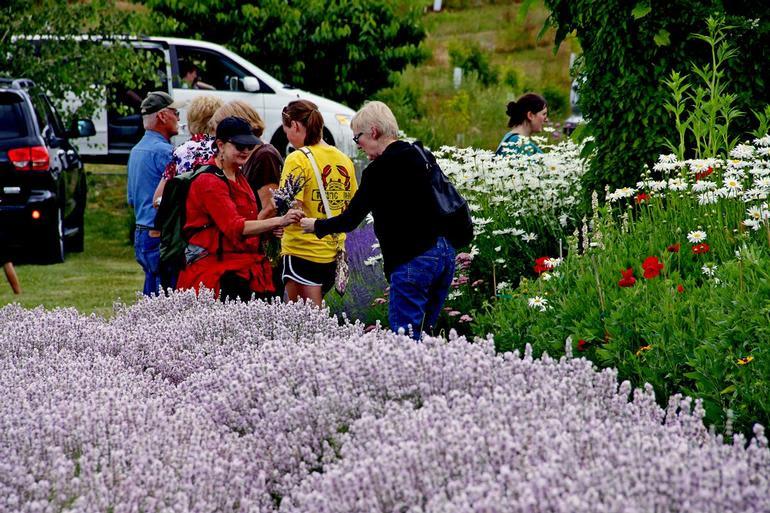 Hood River Lavender Farms - U-Picking fresh Pink Lavender