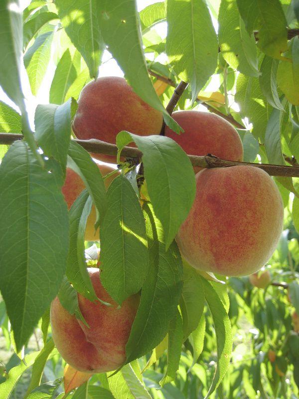 Alyson's Orchard - Peaches