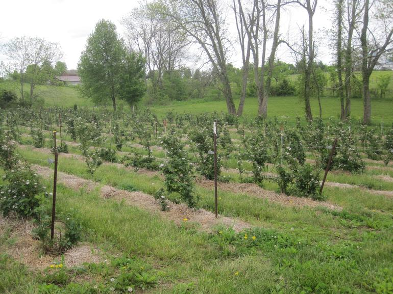 Fairfield Fruits - trellised, mulched blackberry rows
