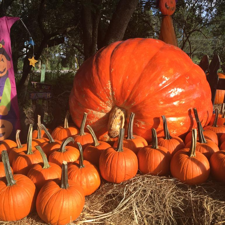 HYDRO HARVEST FARMS - Visit the Biggest Best Pumpkin Patch in Tampa Bay! Open Daily in October and it's FREE
