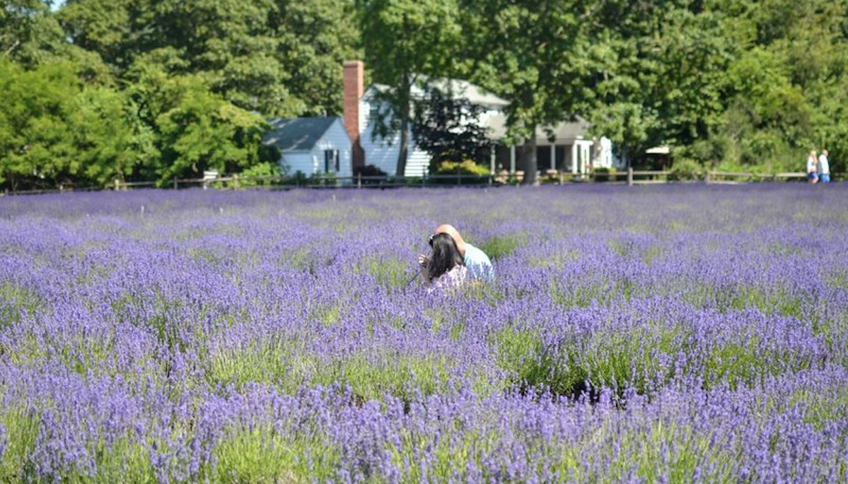 Picnic in lavender fields on the north fork of Long Island