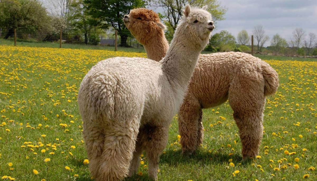 Play with alpacas in the Catskill Mountains