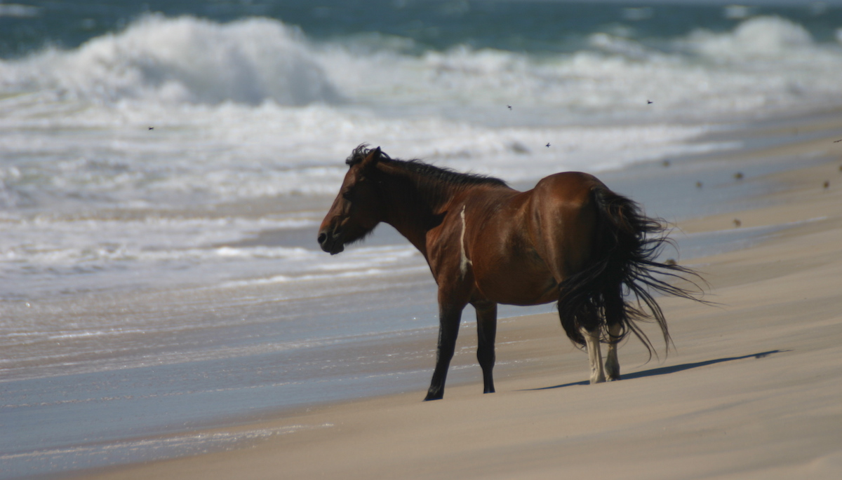 Chincoteague_pony