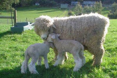 Ireland's lamb