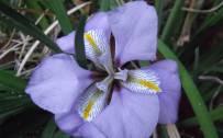 February: Algerian Iris (Iris Unguicularis)