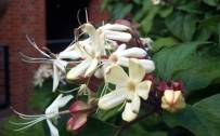 September: Clerodendron (Clerodendron trichotomum var. fargesii)