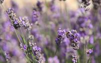 July: Lavender (Lavandula angustifolia)