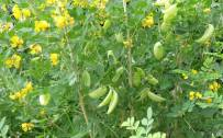 August: Bladder Senna (Colutea arborescens)