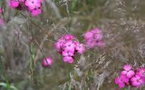 June: Carthusian Pink (Dianthus carthusianorum)