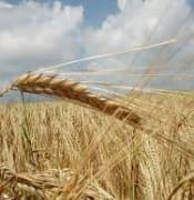 Grain generic.jpg