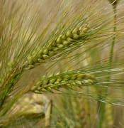 barley 1479433 640