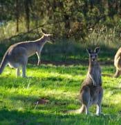 kangaroos 340287 640