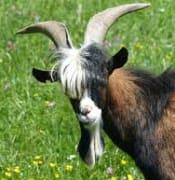 Goat - Bieber Fringe.jpg