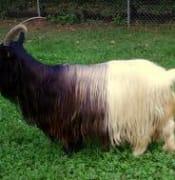 goat half half.jpg