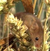 Eurasian Harvest Mice