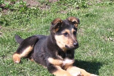 800px-German_shepherd_puppy.jpg