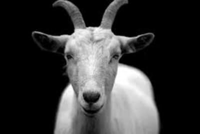 Goat - black and white.jpg