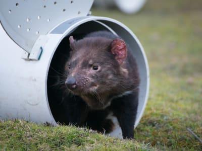 Tasmanian_Devil_Program_027.jpg