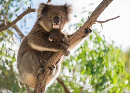 Koala-image-Rockhampton-Zoo.jpg