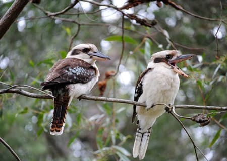 Kookaburras in Tondoon Botanic Gardens