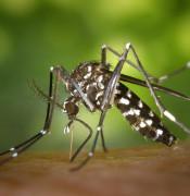 tiger mosquito 49141 640
