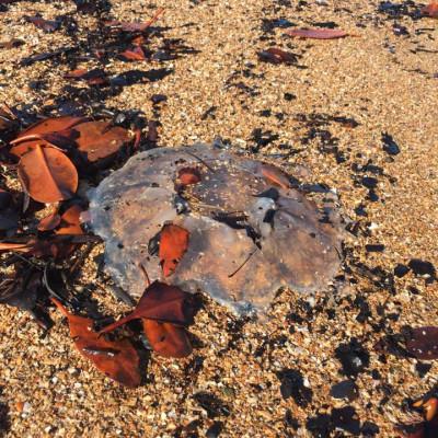 grasstree beach jellyfish Mareesa Cunneen.jpg