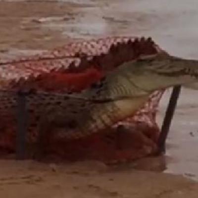croc in crabpot