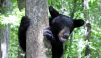 bear climbs hunter's tree stand