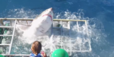 white shark breaks into divers cage