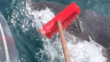 fisherman fights off great white shark with broom