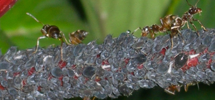 Black bean aphids being farmed by ants