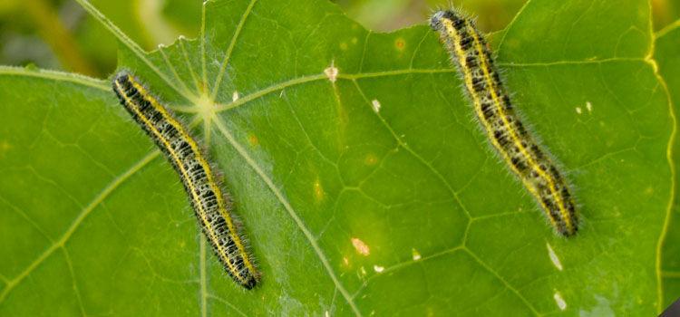 Order Lepidoptera - Butterflies and Moths - BugGuide.Net