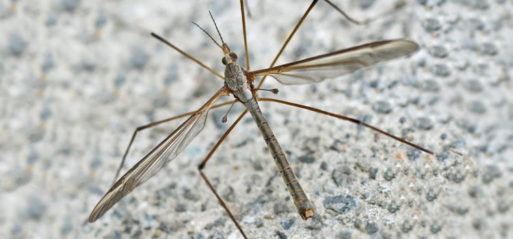 Crane Fly  Daddy Longlegs  Leatherjacket. Insect Identification   Bug Identification   Garden Pests   UK and