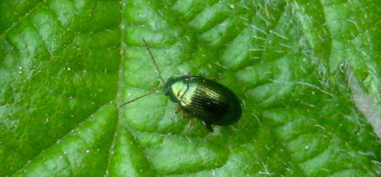 Adult flea beetle
