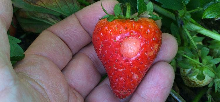 Slug damage on strawberry