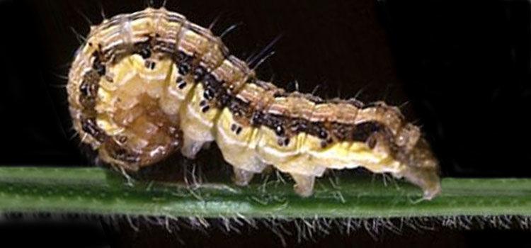 Brown corn earworm