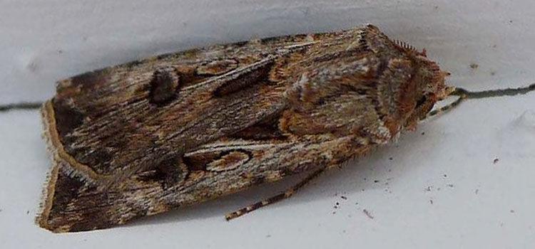 Brown cutworm moth