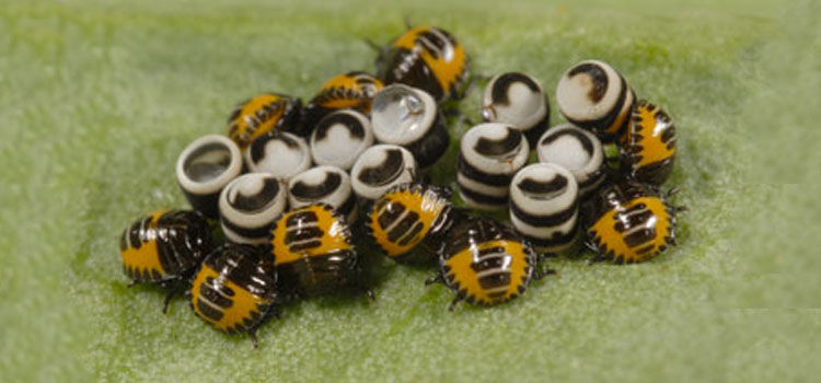 Harlequin bug eggs and nymphs