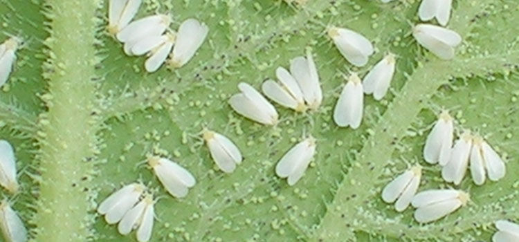 Greenhouse whiteflies feed on the undersides of leaves