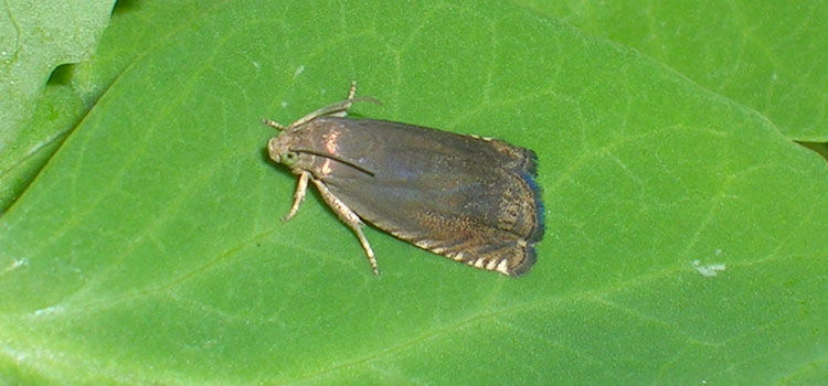 Pea moths lay eggs on young pea pods