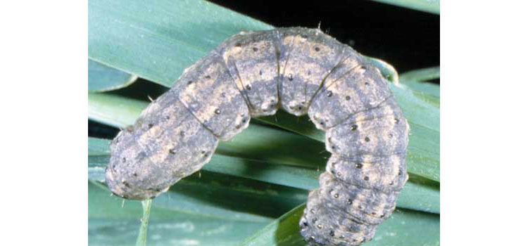 Dorsal view of the larva of a black cutworm