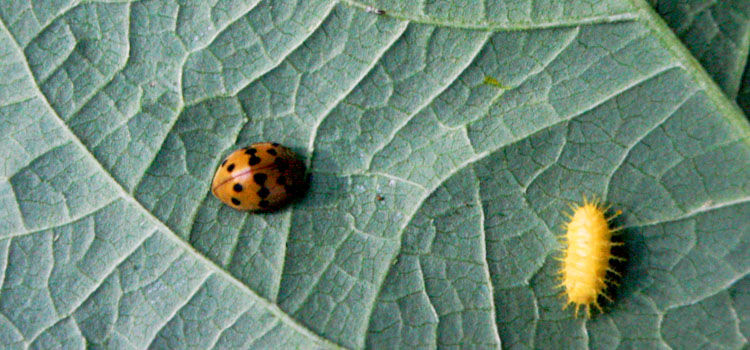 Mexican bean beetle on underside of leaf (left) and larva (right)