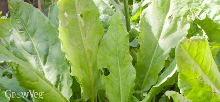 Sorrel being grown next to lettuce and beans as a trap crop to keep slugs off