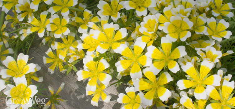 Poached egg plant attracts beneficial insects
