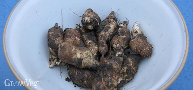 Harvested Jerusalem artichokes