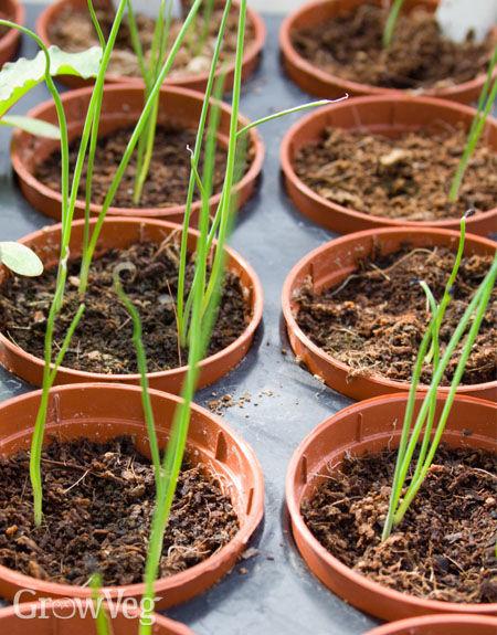 Leek seedlings in pots