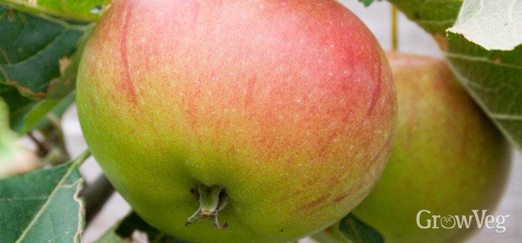 http://res.cloudinary.com/growinginteractive/image/upload/q_80/w_314/v1446807737/Plants/apple-large-2x.jpg