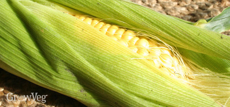 http://res.cloudinary.com/growinginteractive/image/upload/q_80/w_314/v1446832810/Plants/sweetcorn-2x.jpg
